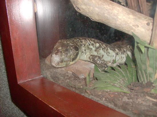 St. Augustine Alligator Farm Zoological Park: Some sort of skink(lizard)