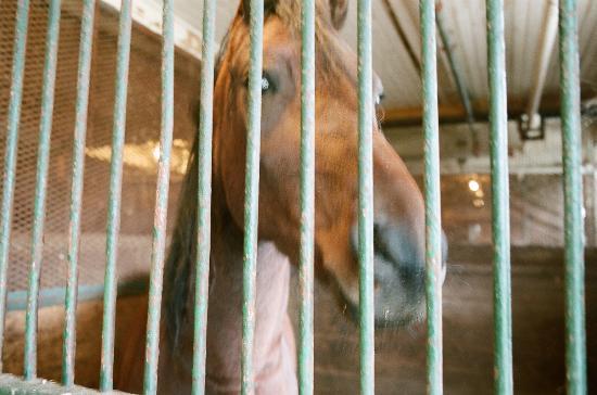 UVM Morgan Horse Farm: Morgan Horse