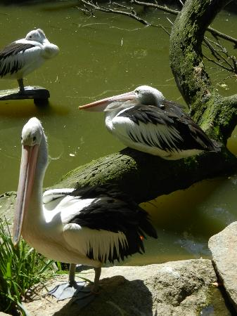 Melbourne Zoo: Pelican family.