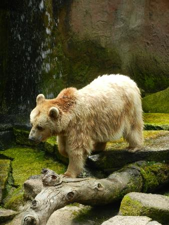 Melbourne Zoo: Pacing brown bear.
