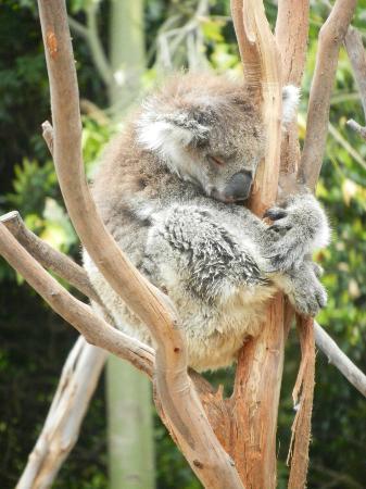 Melbourne Zoo: Snoozing koala.