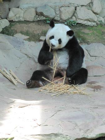 Chiang Mai Zoo: Lin Hui, geb. 28.08.2001