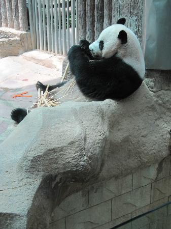 Chiang Mai Zoo: fressen -koten - schlafen, ein faules Leben