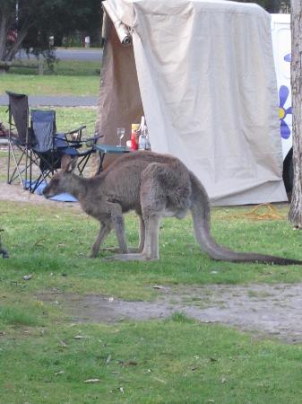 Halls Gap Caravan Park: Local wild life