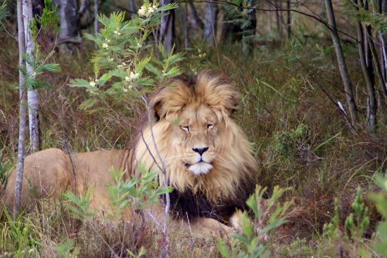 Gondwana Game Reserve: lion