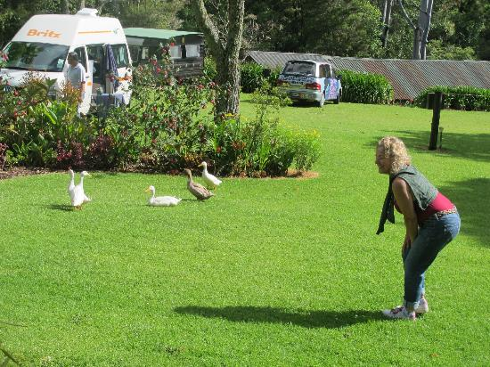 Pagoda Lodge: Ducks come around every morning