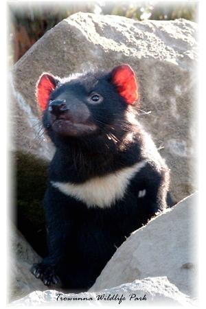 Mole Creek, Αυστραλία: Tasmanian Devil