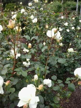 Parnell Rose Gardens : Rose