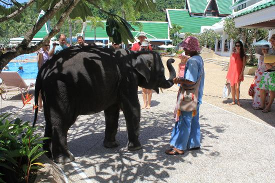 Le Meridien Phuket Beach Resort: Baby Elephant that comes & visits