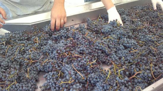 Castello di Radda: Le nostre uve!