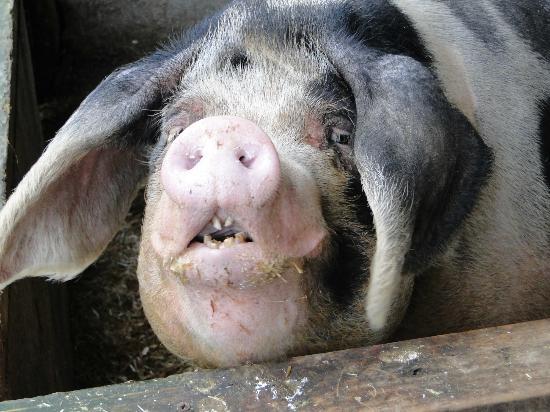 Mabie Farm Park: Oink !!
