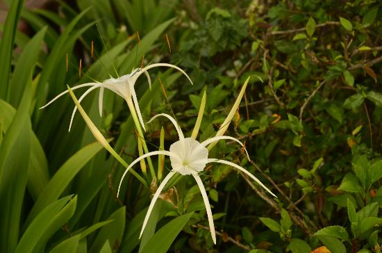 Angkor Palace Resort & Spa: Unusual flower