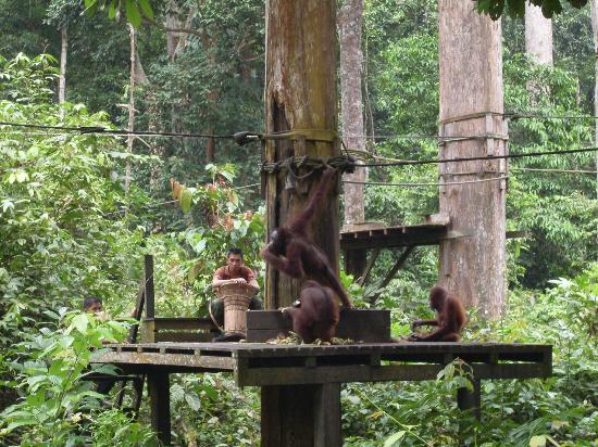 Sepilok Forest Edge Resort: собратья