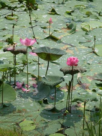 Sepilok Forest Edge Resort: взлохмаченные лотосы