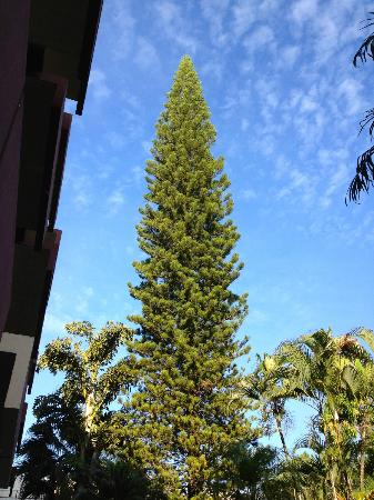 Best Western Plus Hotel Terraza : Picturesque pine against the Salvadoran Sky