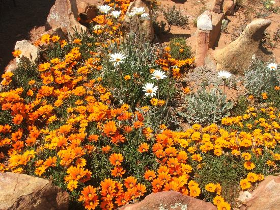 Kagga Kamma Nature Reserve: Beautiful flowers in Sept/Oct