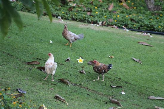 Kiahuna Plantation Resort: plenty of chickens!