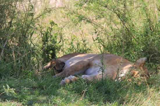 Ubuntu Camp, Asilia Africa: Young lion cub