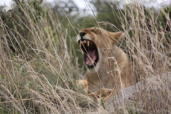 Ubuntu Camp, Asilia Africa: Is this Lion cub growling or yawning?