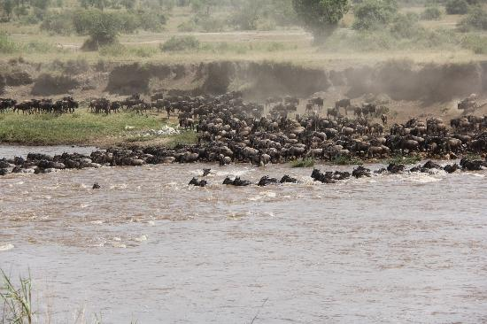 Ubuntu Camp, Asilia Africa: Wildebeest Crossing Mara River