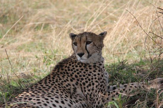 Ubuntu Camp, Asilia Africa: Elusive Cheetah