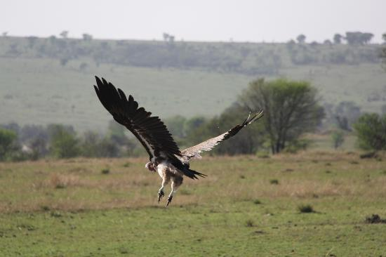 Ubuntu Camp, Asilia Africa: Vulture in Flight
