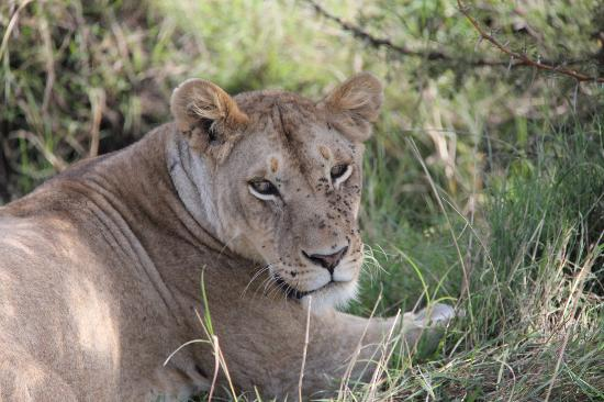 Ubuntu Camp, Asilia Africa: Lioness