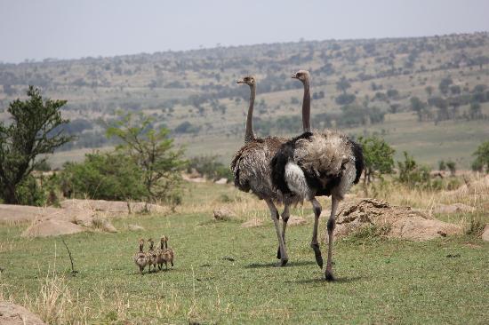 Ubuntu Camp, Asilia Africa: Ostrich Family