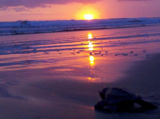 Hotel Laguna Mar: Beach at Costa del Oro and baby turtles heading to sea