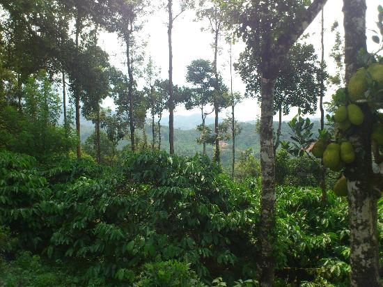 Verdure Wayanad: view from coffee estate