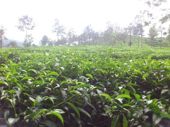 Verdure Wayanad: tea estate near by