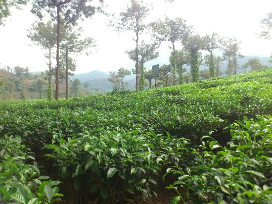 Verdure Wayanad: tea estate