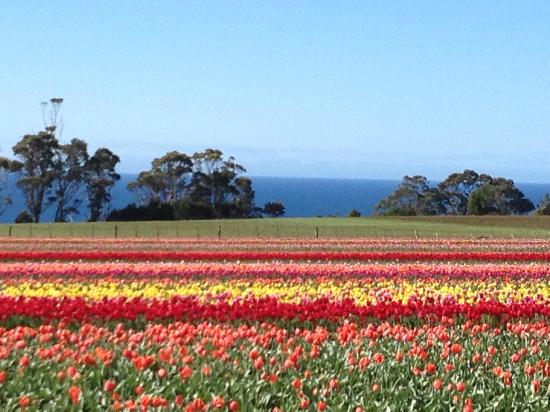 Play A Round in Tassie Day Tours: Tip toe through the Tulips