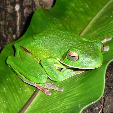 Daintree Village Bed and Breakfast: White Lipped Treefrog