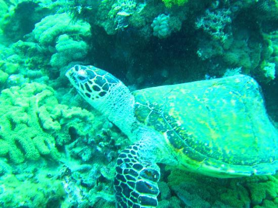Anilao Beach Club: Turtle we saw on the dive