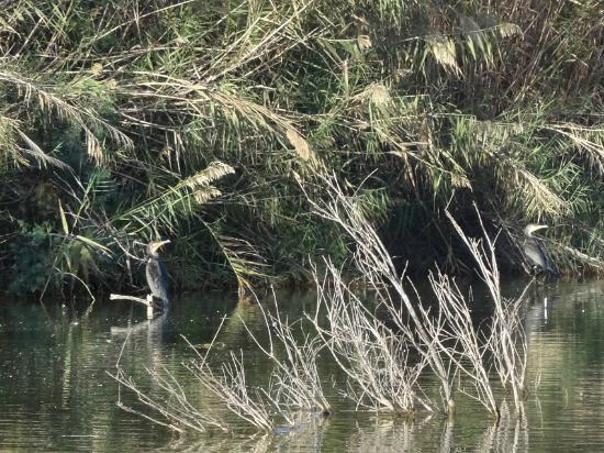 National Park of Souss Massa: Coppia di cormorani