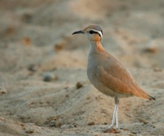 National Park of Souss Massa: Corrione biondo