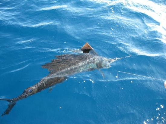 Fearless Fishing Charters: Sailfish