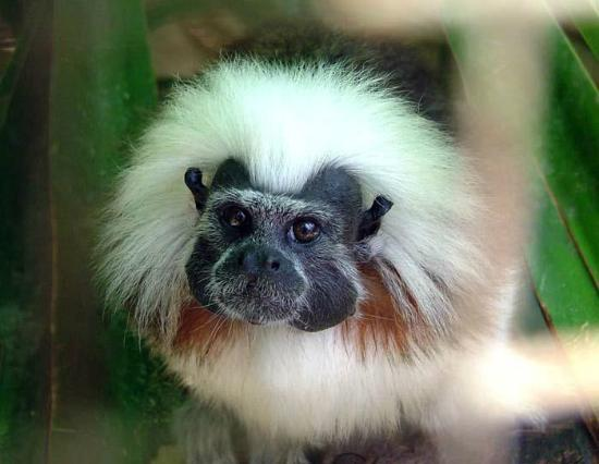 Curacao Zoo: Cotton top tamarin
