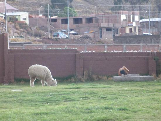 Sonesta Posadas del Inca Lake Titicaca Puno: There were some llamas in their grounds.