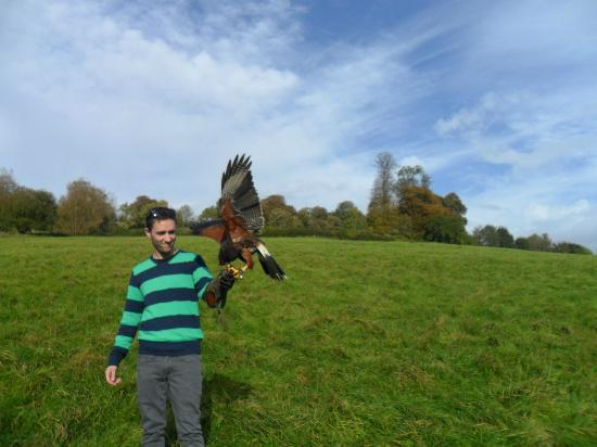 West of England Falconry: flying with Charlie