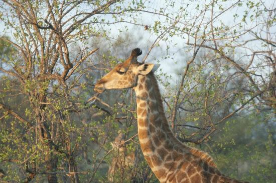 Buffalo Ridge Lodge: Girafe