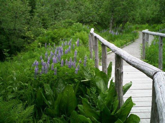Juneau Rainforest Garden: Lupine along trail - spring