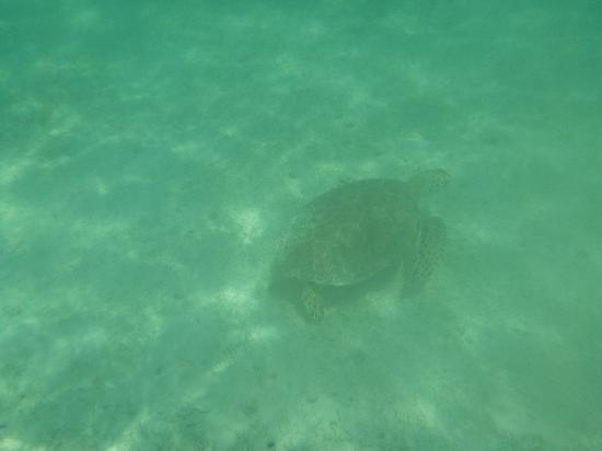 Barcelo Maya Palace: sea turtle, one of many spotted