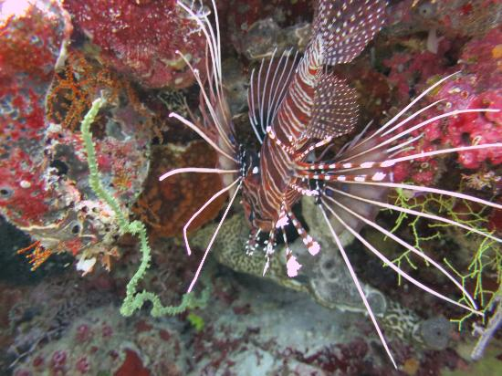 Ellaidhoo Maldives by Cinnamon: lion fish at house reef