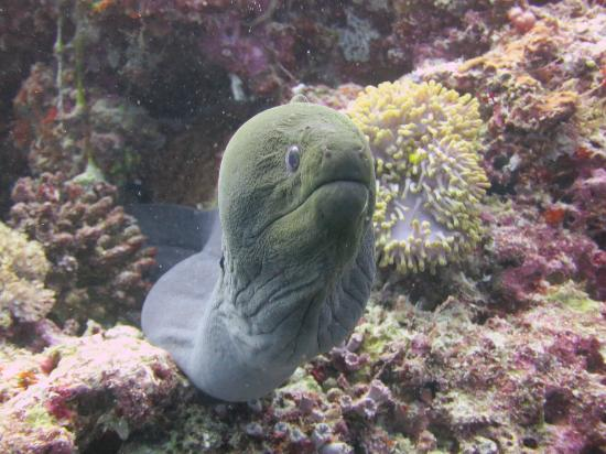 Ellaidhoo Maldives by Cinnamon: moray at the house reef