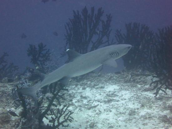 Ellaidhoo Maldives by Cinnamon: shark during a biat trip