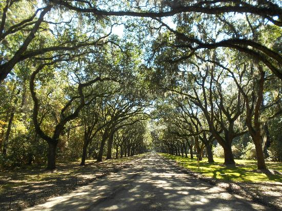 Wormsloe Historic Site : Live oak trees