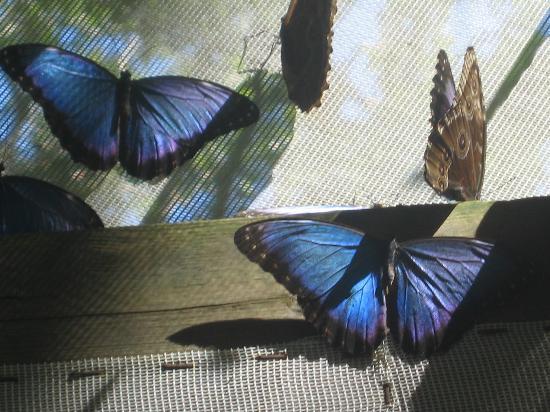 Chaa Creek Natural History Museum : Beautiful Blue.