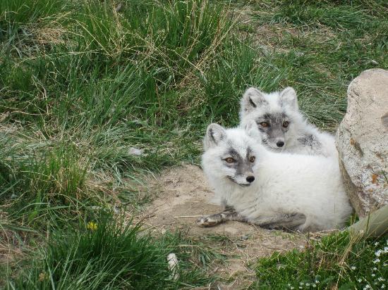 Yukon Wildlife Preserve : Arctic Foxes